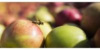 A terméktanács elnöke szerint belerondított az almapiacba egy áruházlánc