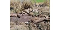 Pusztít a sertéspestis Borsodban, ötven település gazdái aggódnak