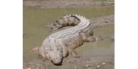 Gigantikus emberevő krokodilt fogtak be a hatóságok a Fülöp-szigeteken