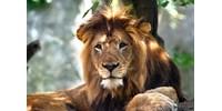 Megölte egyik gondozóját egy észak-karolinai vadaspark oroszlánja