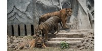 Tigrisek sebesítették meg gondozójukat egy német állatkertben