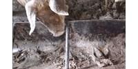 Gusztustalan gazdaság: kacsatetemeket etettek fel a disznókkal