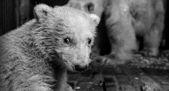 Erős és egészséges a berlini állatkert jegesmedvebocsa