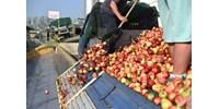 Ha ez így folytatódik, senkinek nem éri meg almát termelni – figyelmeztetnek a gazdák