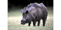 Halálra sebzett egy orvvadászt egy vaddisznó Romániában