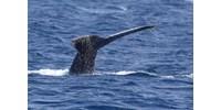 Több mint száz bálna vetődött partra egy új-zélandi strandon - fotó